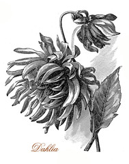 Vintage engraving  of beautiful dahlia flowers, cultivated as garden plant