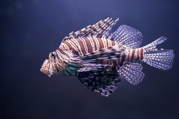 close up o lionfish, pterois volitans