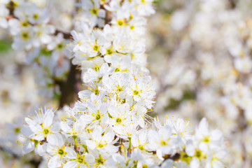 White flower spring cherry blossom bouquet as beautiful season background on a sunny day