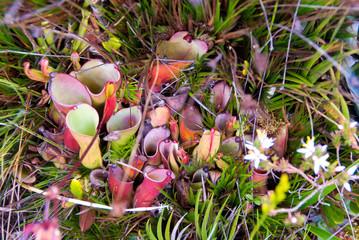 Heliamphora spp., Endemic, Carnivorous Plant on Roraima Tepui, Venezuela