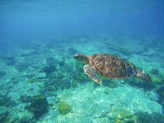 Sea turtle in turquoise blue water. Snorkeling or diving with tortoise