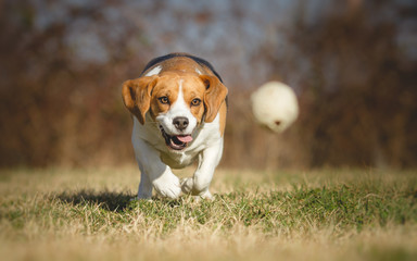 Beagle dog chasing a ball