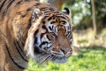 Female Sumatran Tiger. Endangered Animal
