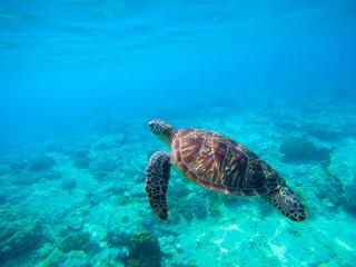 Green turtle swimming in Hawaiian seawater. Sea turtle in wild nature.