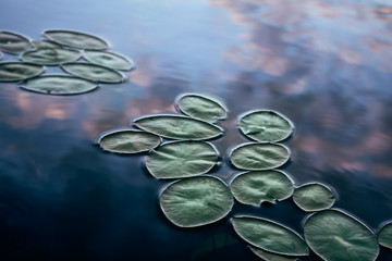 lily pads floating on the surface of a still lake