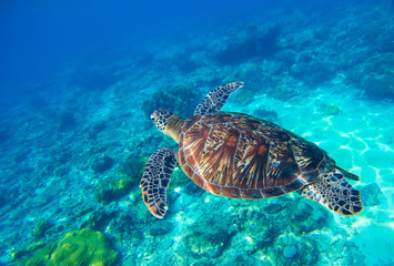 Sea turtle in water. Wild turtle swimming underwater in blue tropical sea.