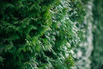 Green cypress tree close-up, soft focus, background