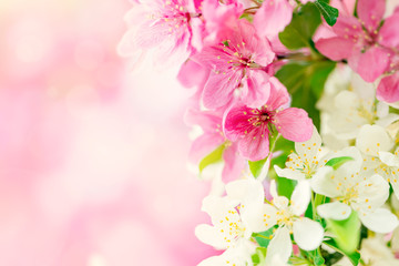Spring background with pink and white tree flowers