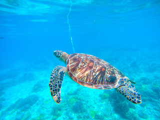 Sea turtle in turquoise blue water. Snorkeling or diving with tortoise.