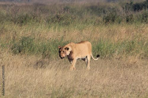 Lioness Walking After Hunt