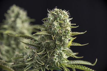 Cannabis cola (crown royale strain) on late flowering stage - medical marijuana concept