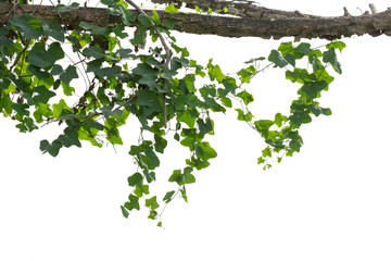 vine plants isolated on white background. clipping path