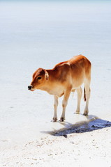 Little cow like white sandy  beach too