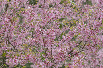 Wild Himalayan Cherry,Prunus cerasoides