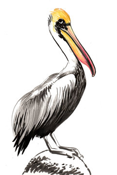 Watercolor pelican