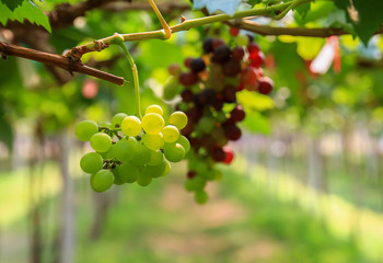 fresh Grapes in the Garden