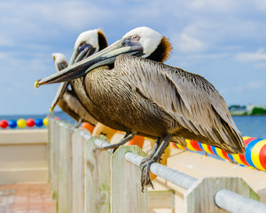 Pelicans sitting on the rail