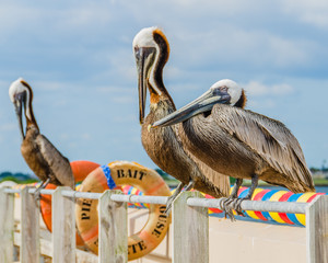 Pelicans stretching on the rail