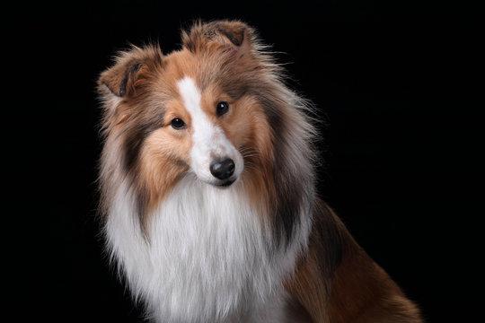 Beautiful Sheltie dog breed, portrait