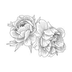 Flowers peonies closeup. Card or invitation for your design. Hand drawn sketch. Vector illustration isolated on white background. Summer flowers in Botanical style.