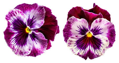 Pansy flowers isolated on white