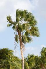 Palme in der Karibik