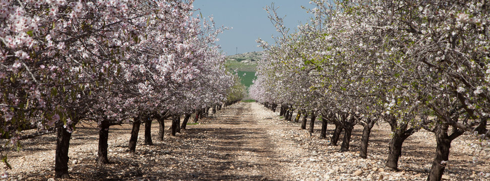 Spring Is Here. Field of almond tree during the blossoming - Mevo Horon, Israel. The blossoming of the almond tree prevents the arrival of the spring in Israel. Panorama