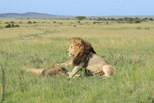 Mature lions in Kenya