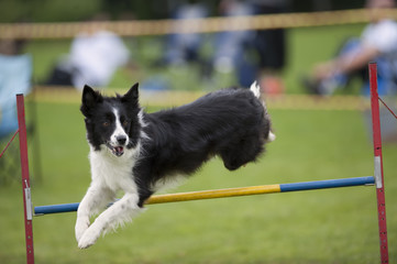 Proud dog jumping over agility hurdle