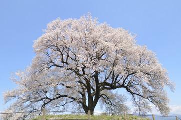 満開の鰐塚一本桜