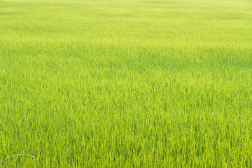 Rice field background.