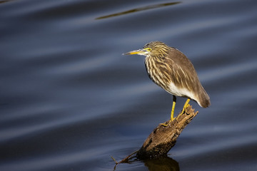 Indian Pond heron sitting on a branch in the water, Ranthambore National Park, India
