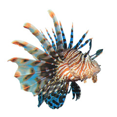 Lionfish fish isolated on white background
