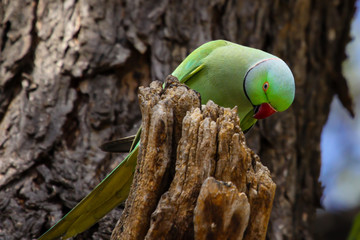 Rose ringed parakeet on a tree stub looking for insects, Ranthambore National Park, India