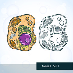 Structure of animal cell. Vector illustration