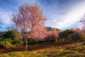 beautiful landscape of platation pink cherry blossom (Sakura) in grass field