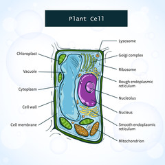 Structure of plant cell. Vector illustration