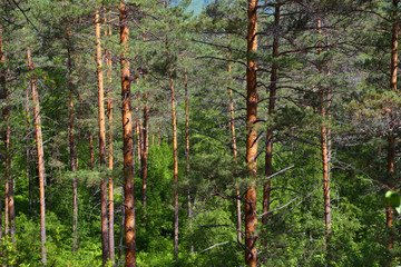Wall Mural - forest landscape in russian taiga