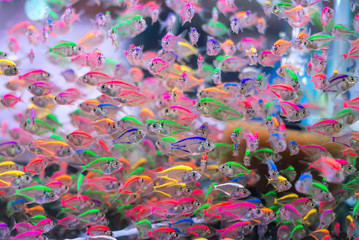 School of colorful Siamese glass-fishes
