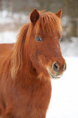 Beautiful chestnut pony in winter