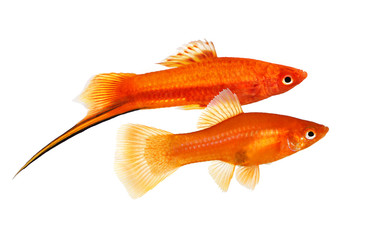 Red Swordtail pair Xiphophorus Helleri Male Female aquarium fish isolated on white