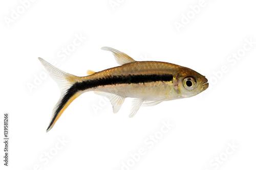 ... : Penguin tetra Thayeria boehlkei blackline penguinfish aquarium fish