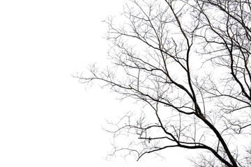 Dead branches , Silhouette dead tree or dry tree on white background with clipping path. Wall mural