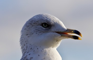Amazing portrait of a cute beautiful gull with the bick opened