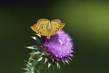 Beautiful orange wings of a fritillary butterfly. Fritillary butterfly (Argynnis paphia) gather nectar in a forest glade, Chatyr-Dag mount lower slopes, Crimea