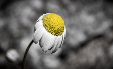 Chamomile flower close up in selective color.