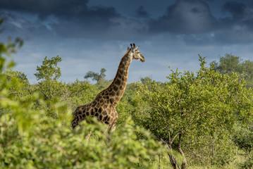 Giraffe Kruger National Park Safari