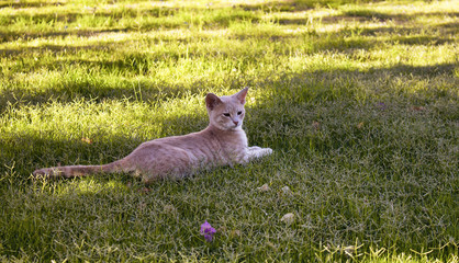 Yellow - white tabby (striped) cat rests under trees shadow on grass field in a very hot summer day in Turkbuku / Bodrum city.
