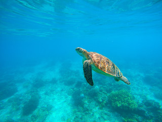 Sea turtle in water. Green turtle underwater photo Tropical lagoon sea animals.