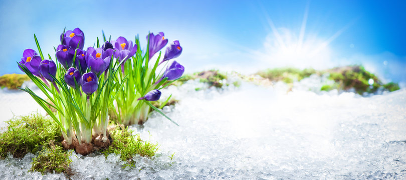 Crocus flowers blooming through the melting snow